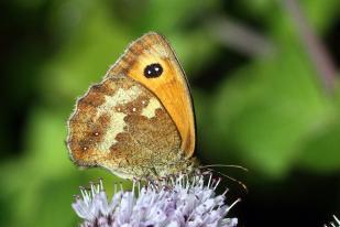 Gatekeeper butterfly (Pyronia tithonus) female, underside